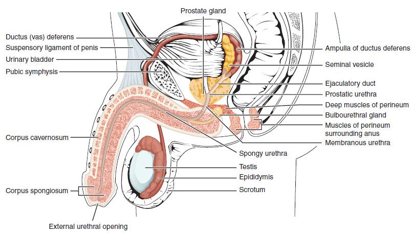 A pénisz anatómiája